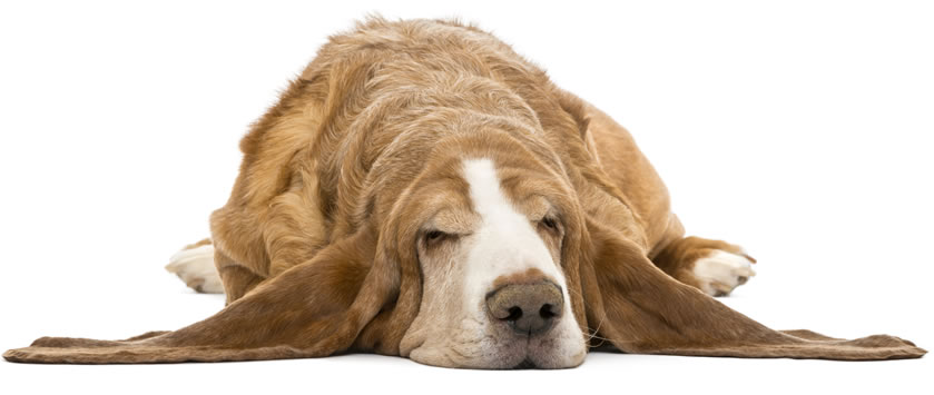 sleeping-dog-01